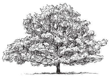 sketch of an old oak tree