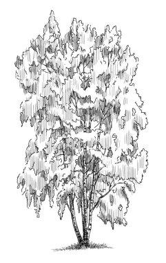 birch in the summer