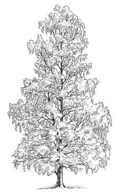 sketch of a birch tree