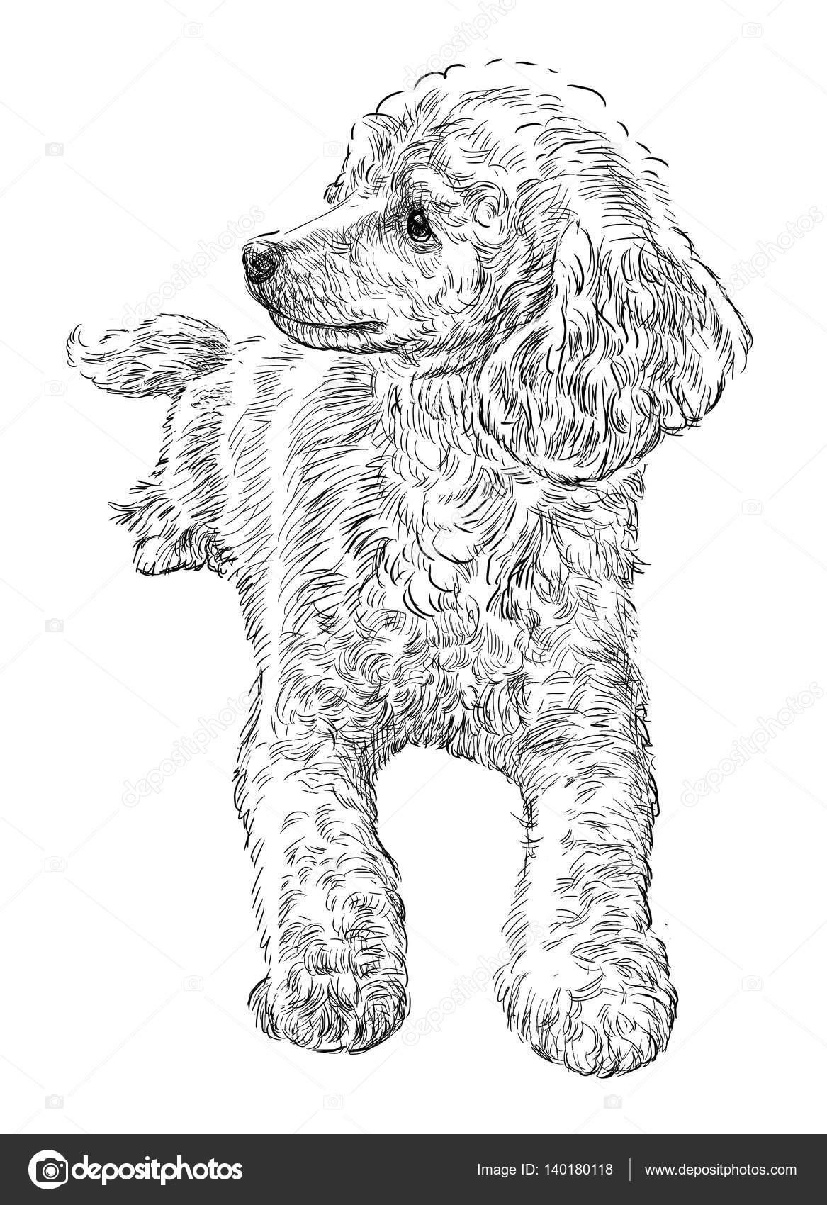 Dibujos Perritos Poodle Dibujo De Un Caniche Foto De Stock