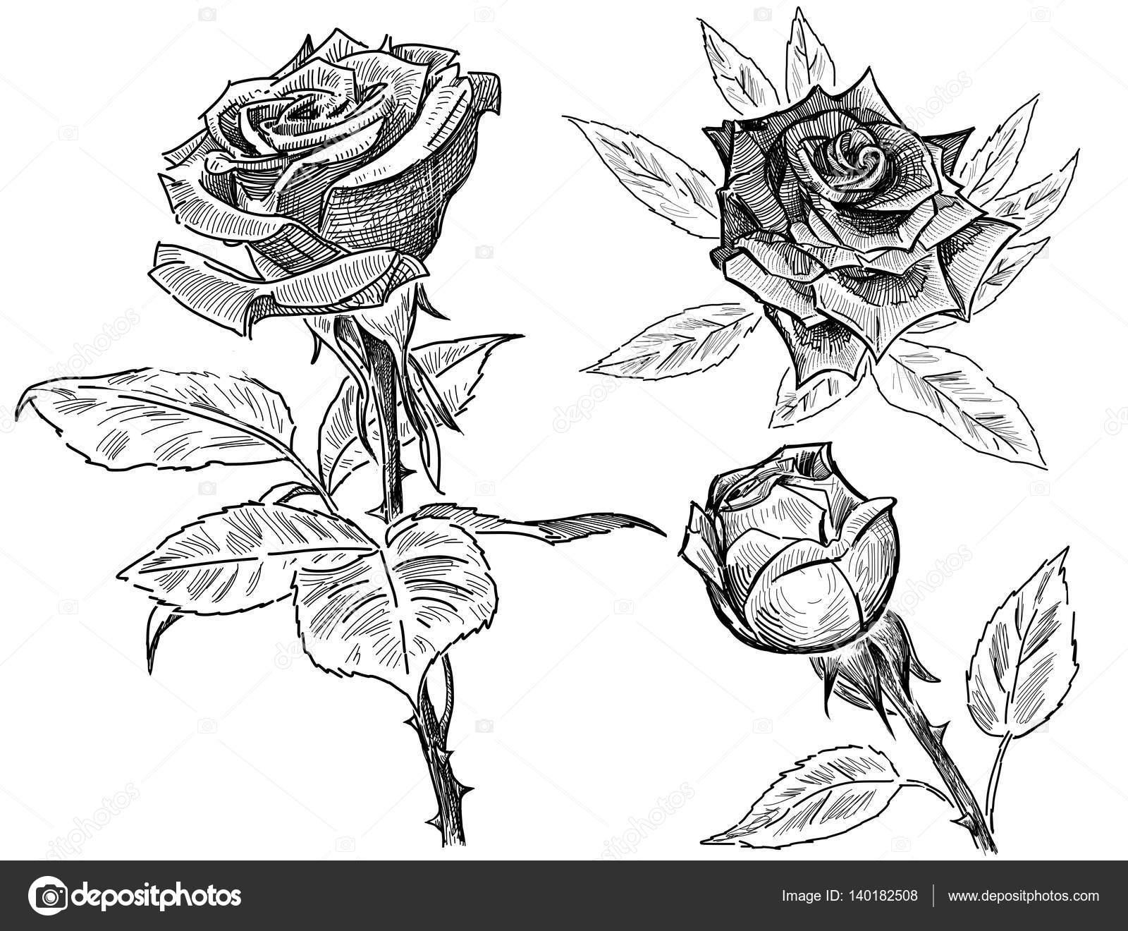 Bleistift Zeichnungen Der Rosen Stockfoto C Mubaister Gmail Com