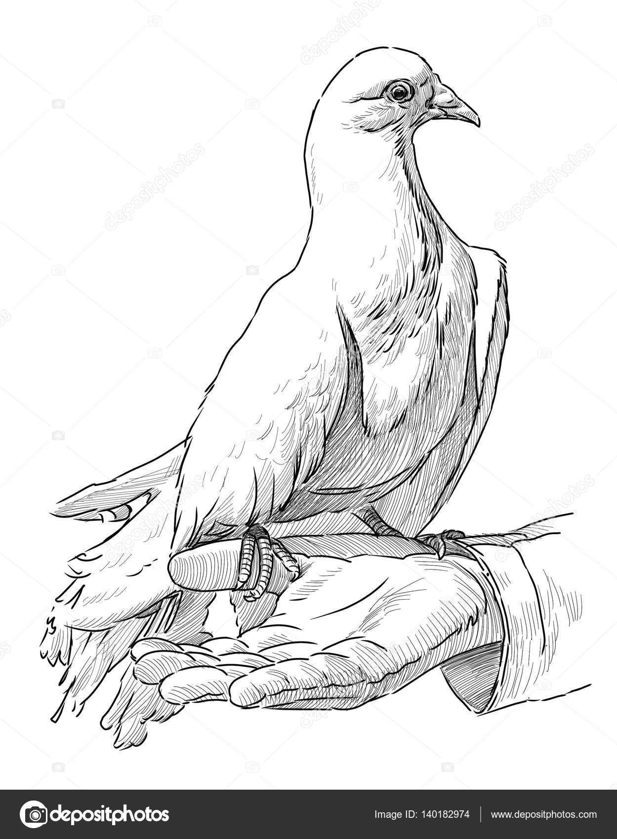 sketch of a dove on a human hand stock photo