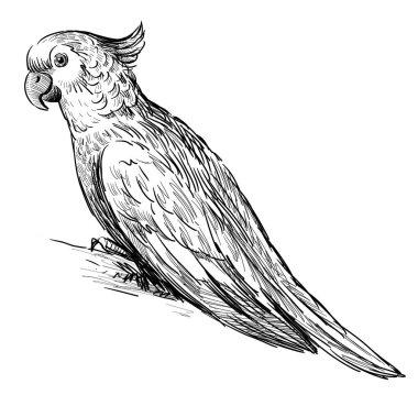 sketch of parrot