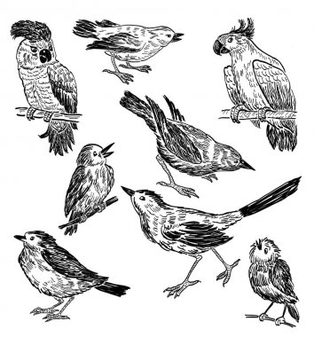 Pencil drawings of the different wild birds
