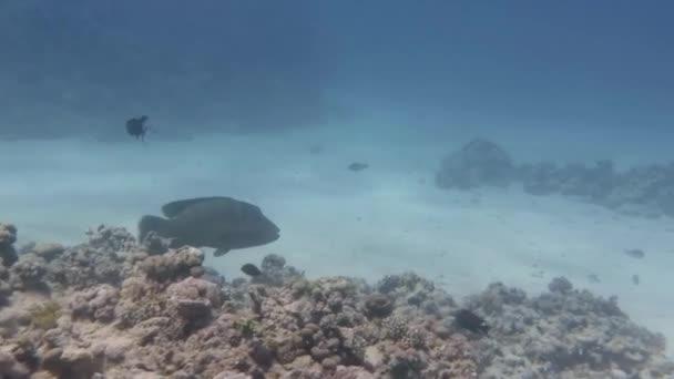 Pesce Napoleone nuota intorno una barriera corallina nel mar rosso vicino allisola di Tiran. Sharm El Sheikh, Egitto