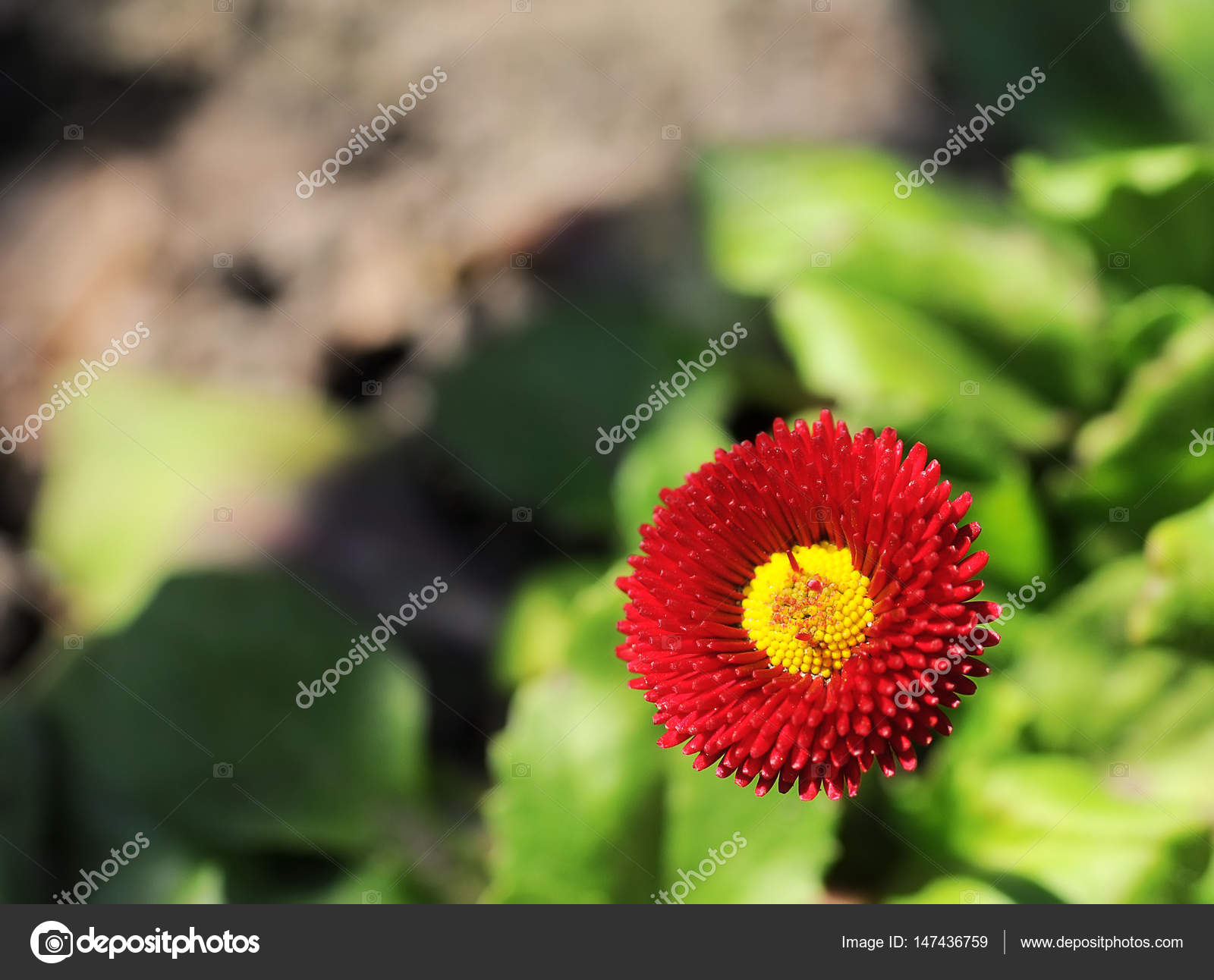 Single red daisy flowers on flowerbed at springtime stock photo single red daisy flowers on flowerbed at springtime stock photo izmirmasajfo