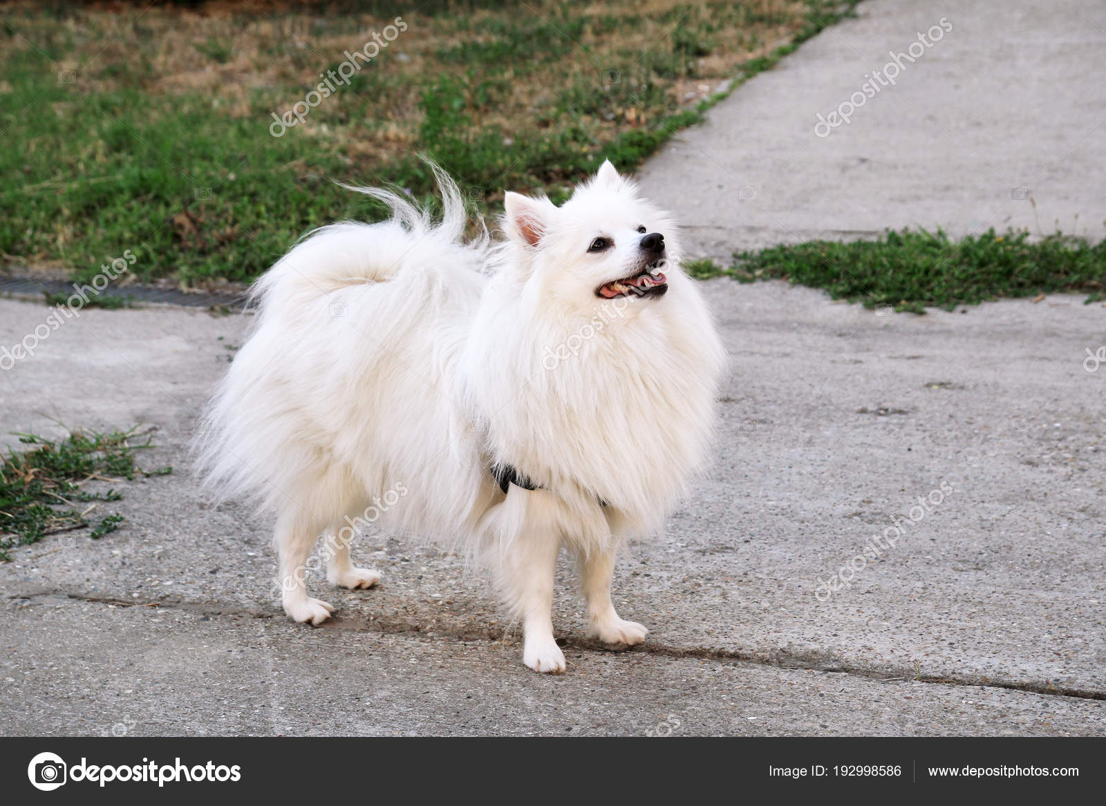 Pomeranian Dog In Park Pomeranian Spitz Dogs Is Standing And Happy