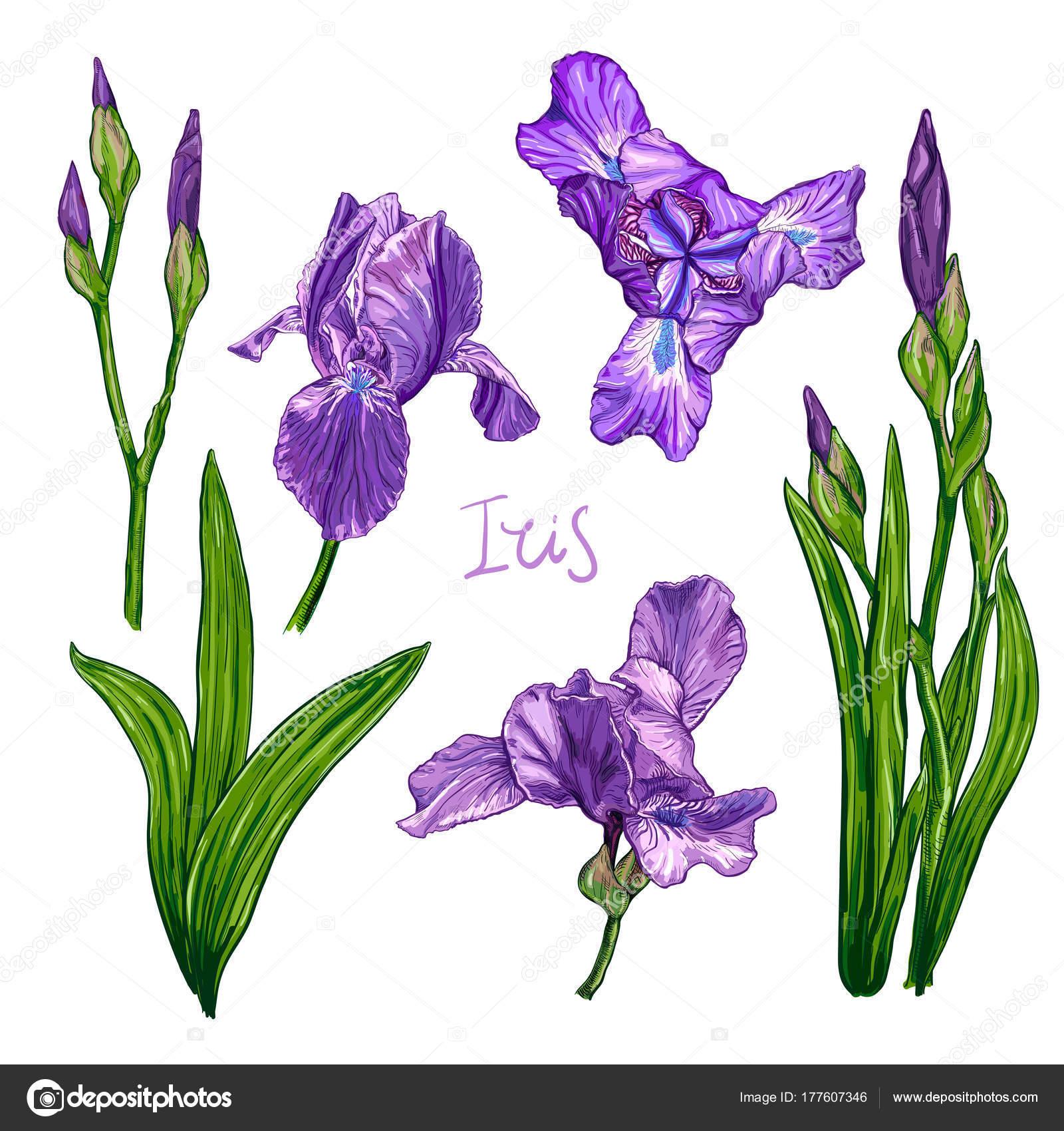 Violet Iris Flower Set Stock Vector Ledelena 177607346