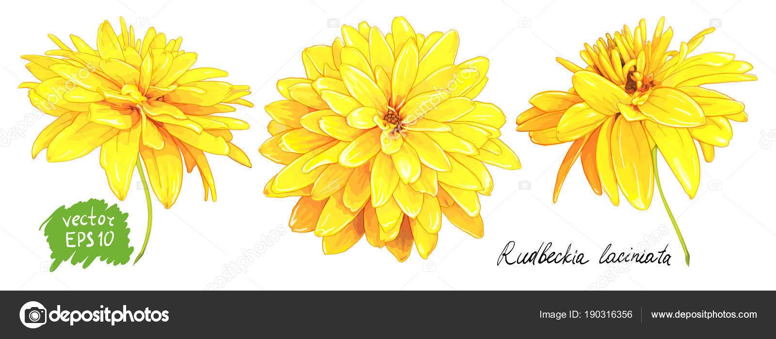 Rudbeckia Laciniata Yellow Flower Stock Vector Ledelena 190316356