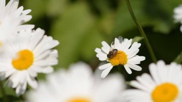 Méh nektárt gyűjt vadvirágok