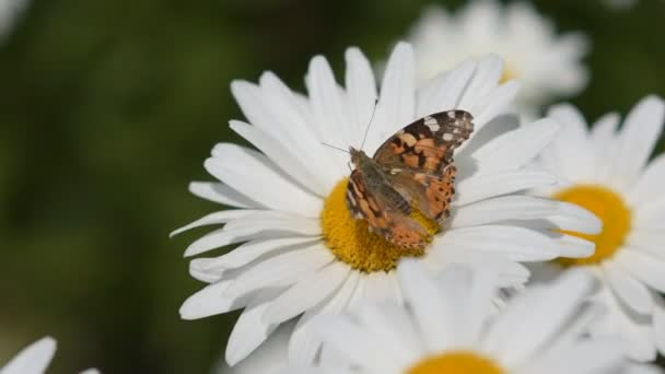 Butterfly collects nectar from a flower and then flies away. Close-up