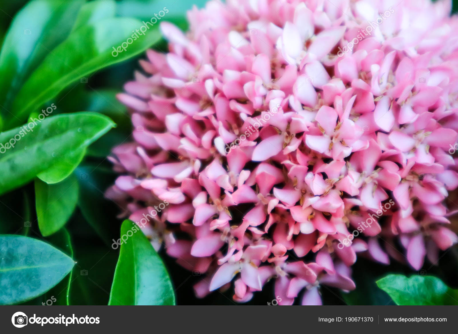 Pink ixora flower boutique spike bloom in the garden stock photo pink ixora flower boutique spike bloom in the garden stock photo mightylinksfo