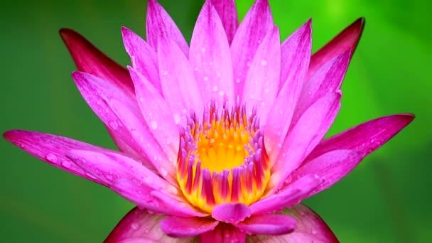 világos rózsaszín lótusz virágzik eső után esik, és elmossa a két színű víz felületén