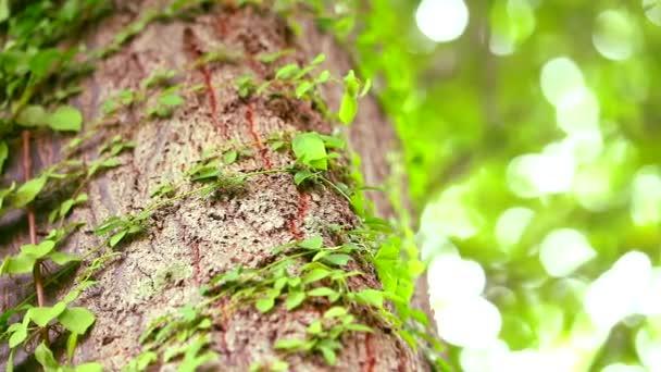 pánev parazitující vinné révy omotané kolem stromu, aby se spolehli na vodu a sluneční světlo pro život, koncept života závisí na sobě navzájem