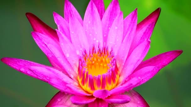 világos rózsaszín lótusz virágzik eső után esik, és elmossa a két színű víz felülete2