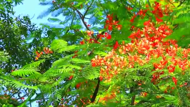 The Flame Tree, Royal Poinciana in the park moving by wind in the afternoon
