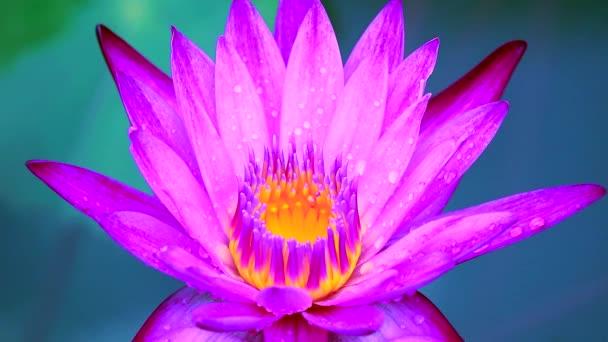 világos rózsaszín lótusz virágzik eső után esik, és elmossa a két színű víz felülete1