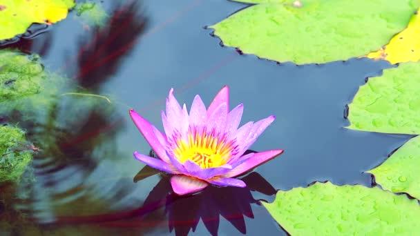 zblízka na krásné růžové lotosové květy kvetoucí na vodě v rybníku1