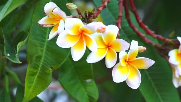 plumeria white orange yellow bouquet flower blooming in park