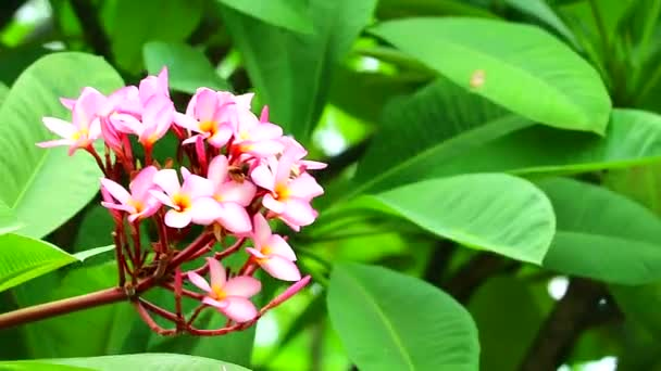 Plumeria pink flowers and green leaves  in the garden background
