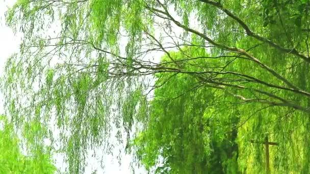 pláč vrba strom a zelené listy zeď houpačka po větru v zahradě