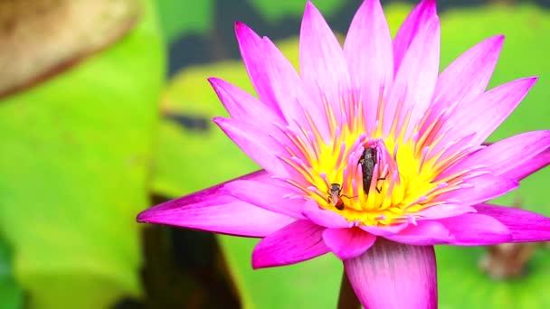 a méhek kedvesnek találják a rózsaszín lótuszvirág virágporát a tóban.