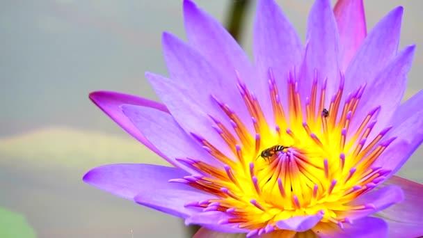 a méhek kedvesnek találják a lila lótuszvirág virágporát a tóban.