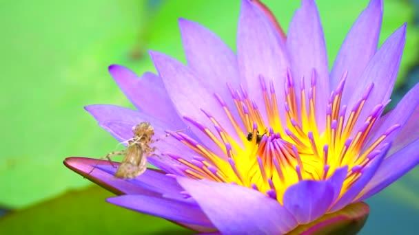 a méhek kedvesnek találják a rózsaszín lótuszvirág virágporát a tóban, és a rovar foltokat a levélen.