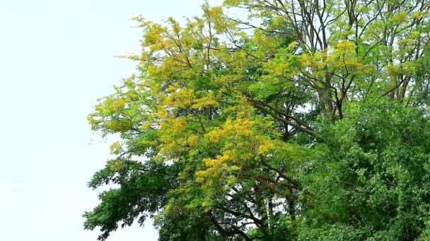 Zubní kartáček strom, siamský drsný keř žluté květy kvete v zahradě