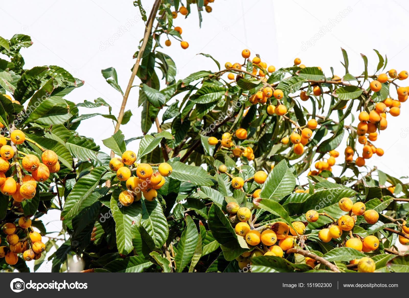 medlar mandarin