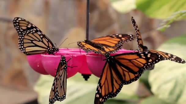 Motýli jedí med ze speciálních reflektorů