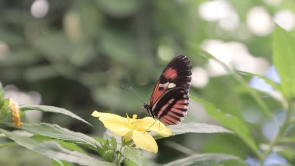 Motýl opyluje květ keře