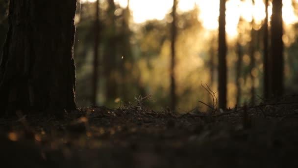 východ slunce lesní, borovice v západu slunce moře