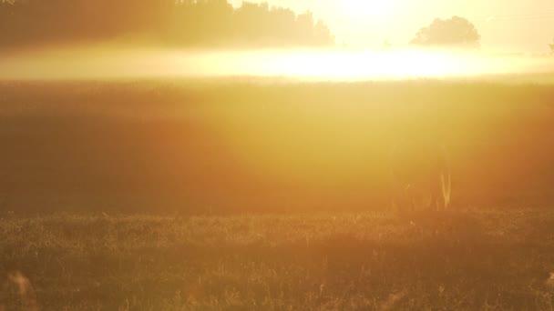 Ló legeltetés a legelőn, ködös alatt napkelte