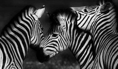 """Картина, постер, плакат, фотообои """"группа зебр постеры животные белые"""", артикул 150544828"""