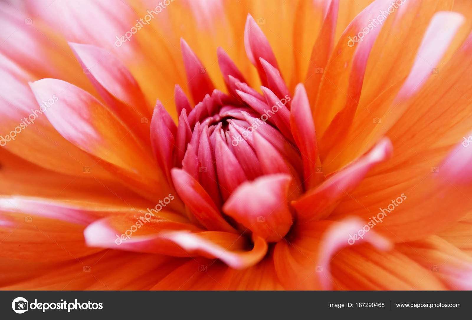Close Beautiful Orange Dahlia Flower Stock Photo Lehmannw