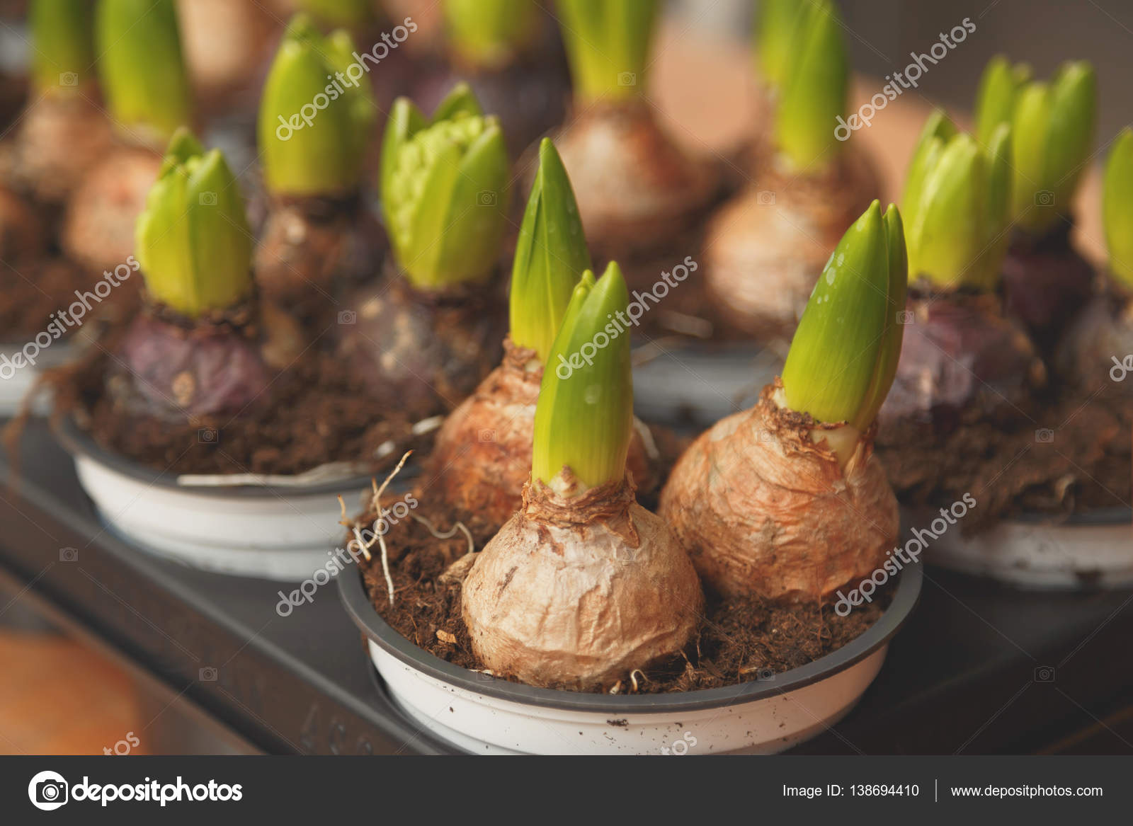 Cebulki Kwiatowe W Doniczkach Gotowe Do Sadzenia W Kwietnik