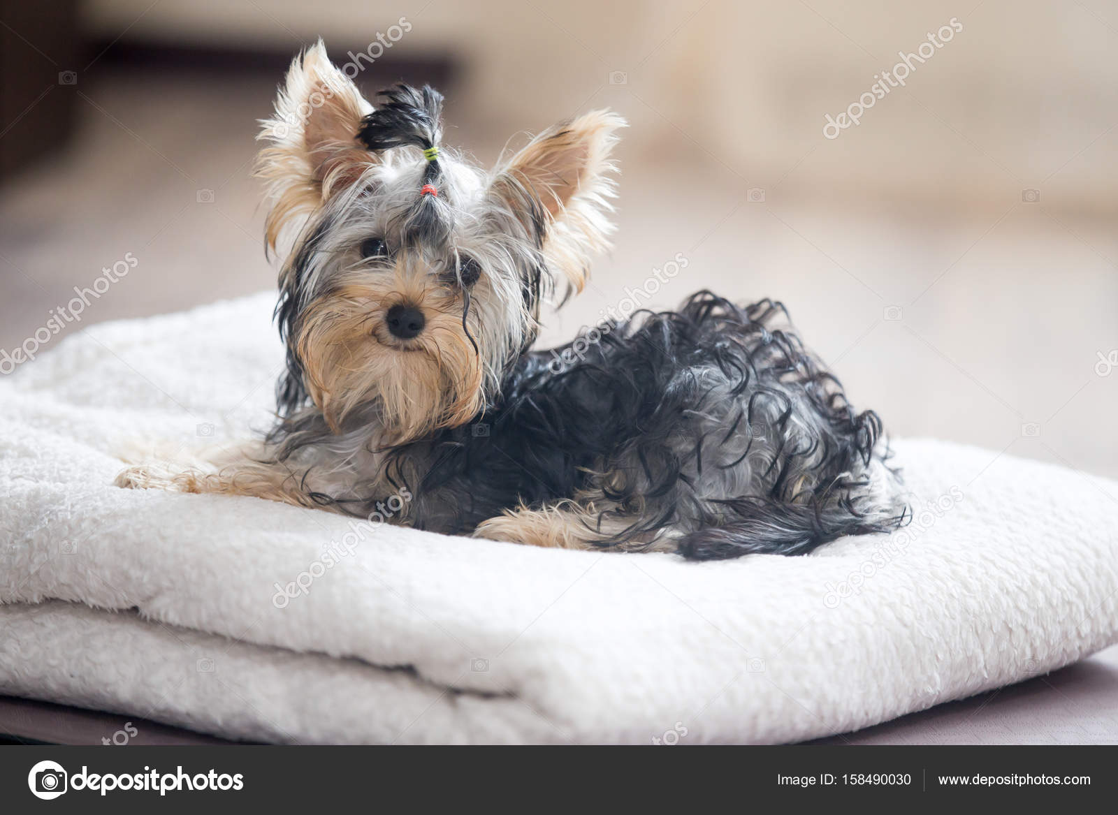 Popular Bow Tie Bow Adorable Dog - depositphotos_158490030-stock-photo-cute-little-dog-with-bow  Perfect Image Reference_805242  .jpg