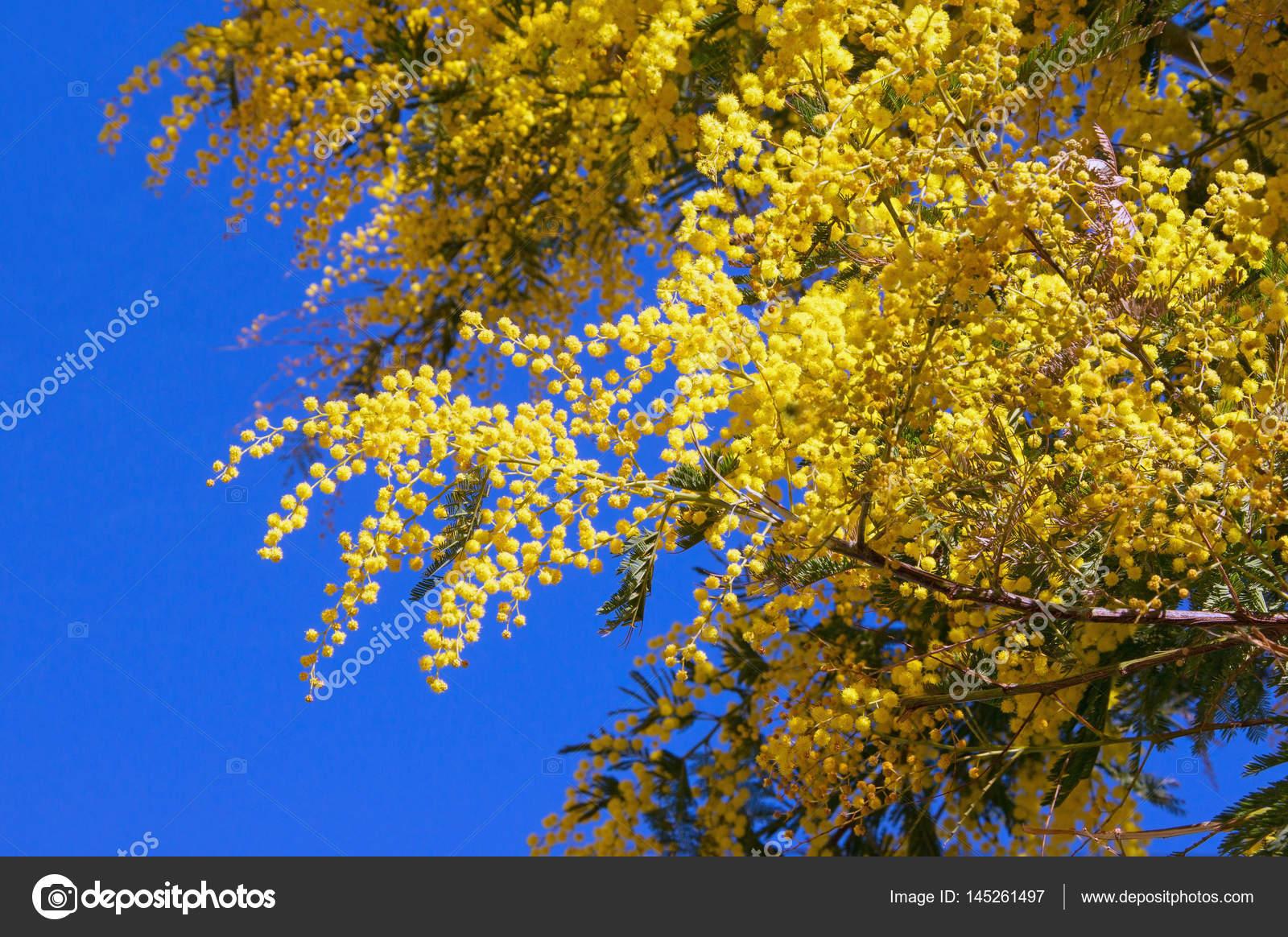Branches of flowering acacia dealbata mimoza against blue sky branches of flowering acacia dealbata mimoza against blue sky on a sunny spring day photo by olgailinich mightylinksfo