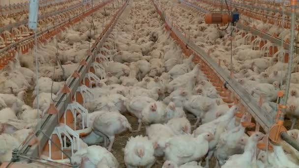 Poultry farm with lots of chickens
