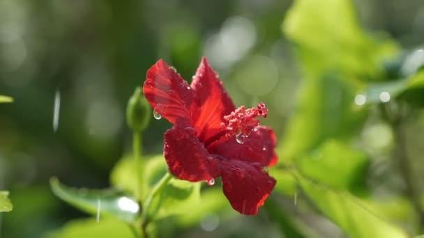 Vörös hibiszkusz virág az eső alatt