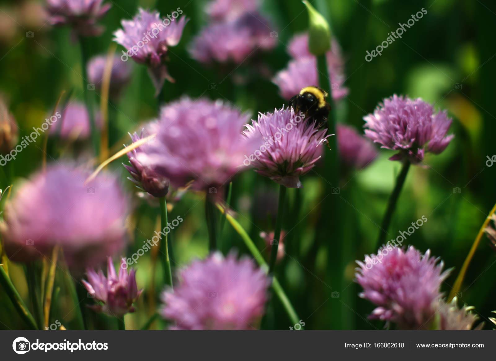 Bourdon Recueillir Le Nectar Sur Une Fleur De Trefle Rouge