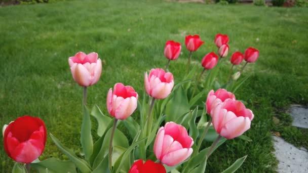 Krásné barevné červené tulipány květiny kvetou v jarní zahradě. Dekorativní tulipánový květ na jaře