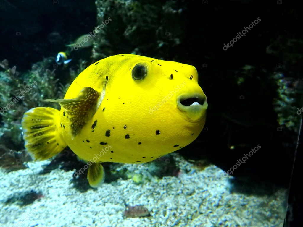Yellow puffer fish stock photo danler 125747336 for Puffer fish price