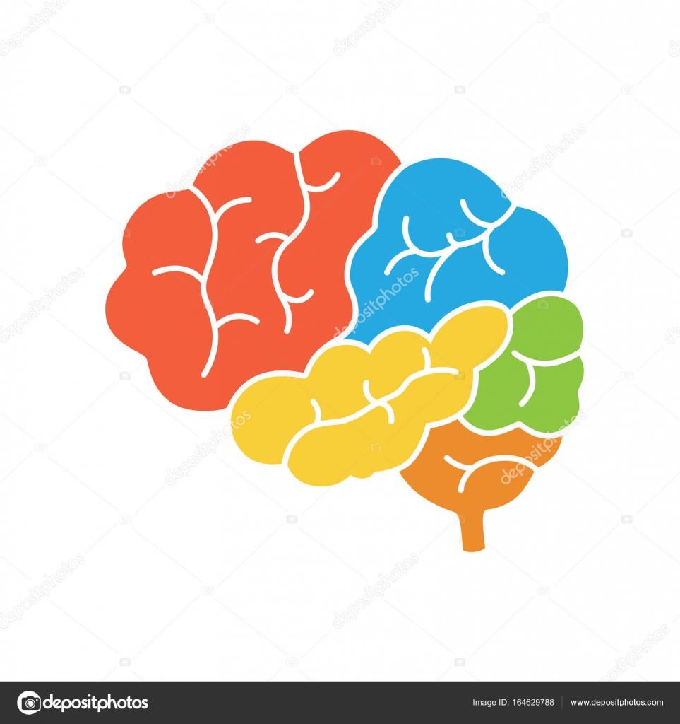 Diagrama de la vista lateral de cerebro humano, anatomía ...
