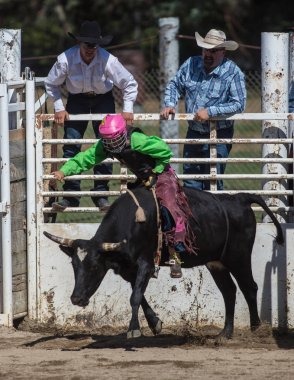 Steer riding  event at the Scott Valley Pleasure Park Rodeo in Etna, California. July 29th, 2017