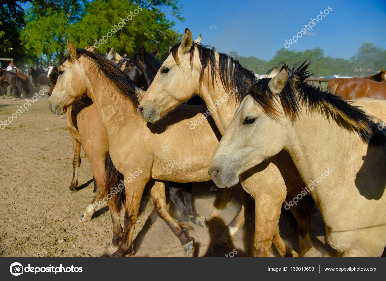 buckskin horses in a paddock stock photo anvmedia 139010690