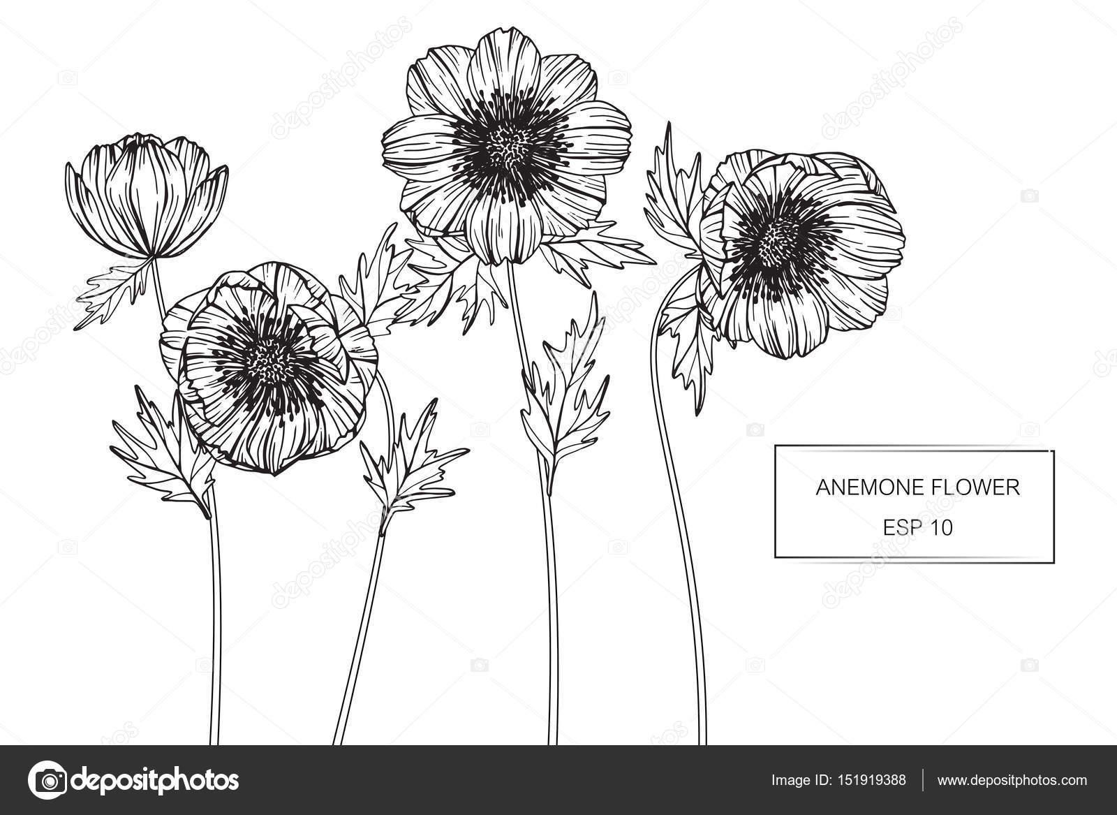 Anemone Flower Line Drawing : Zawilec kwiaty rysunek i szkic z linii sztuka — grafika