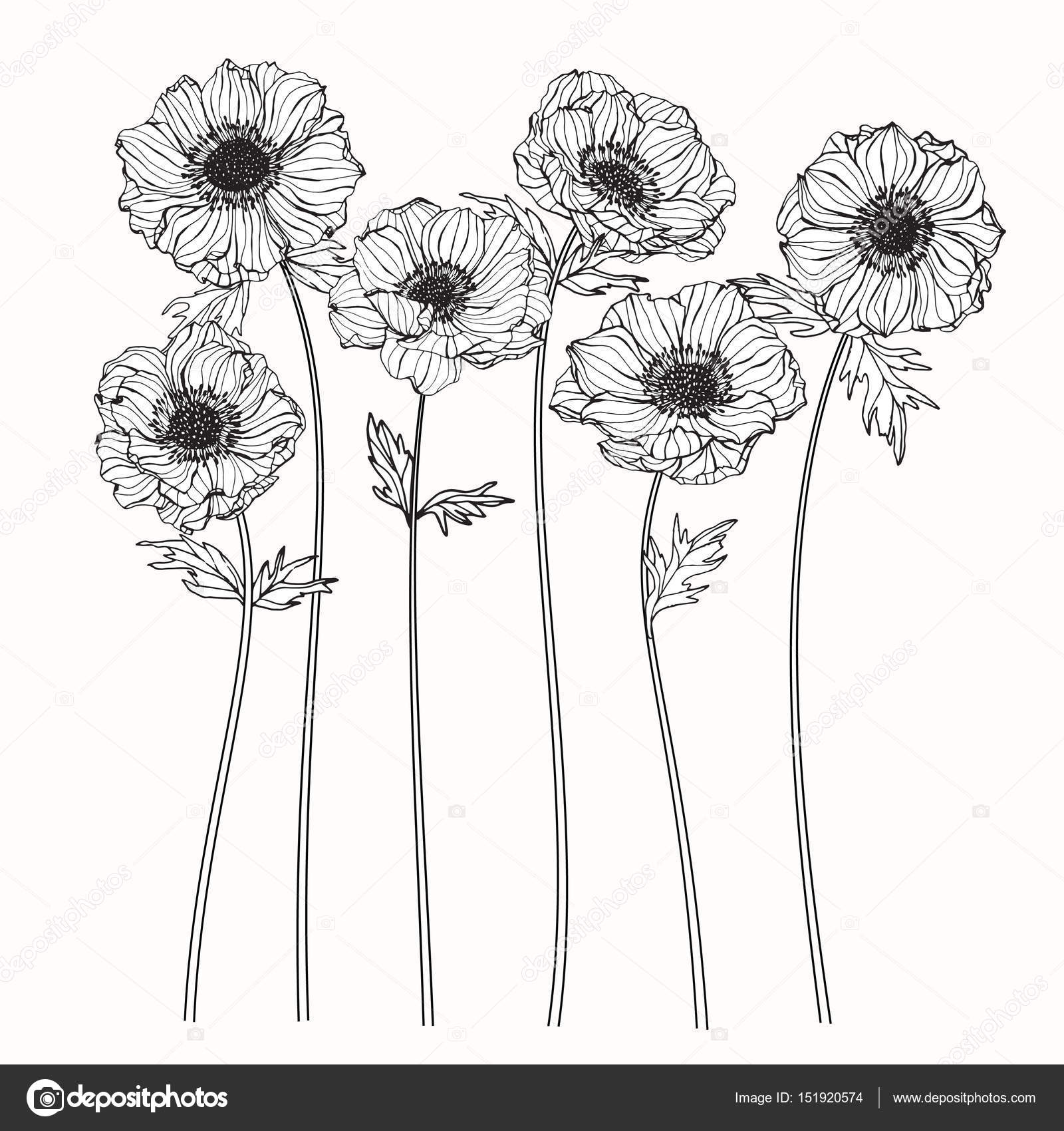Anemone Flower Line Drawing : Fleurs d anémone dessin et croquis avec trait — image