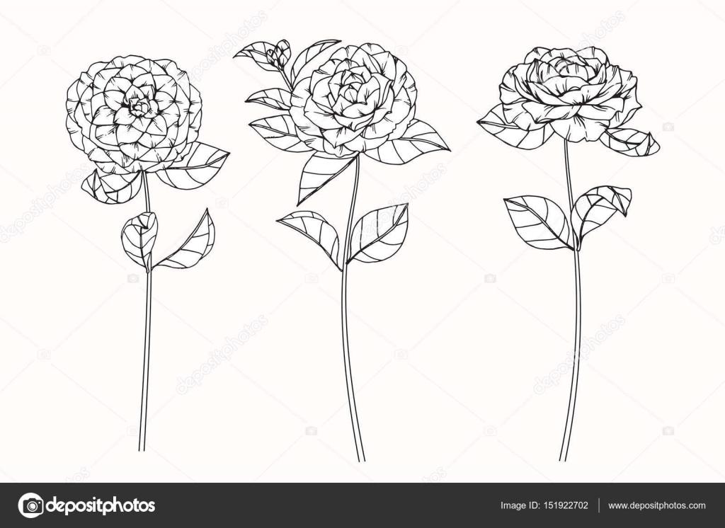 Camellia Flower Line Drawing : Fiori della camelia disegno e schizzo con line art